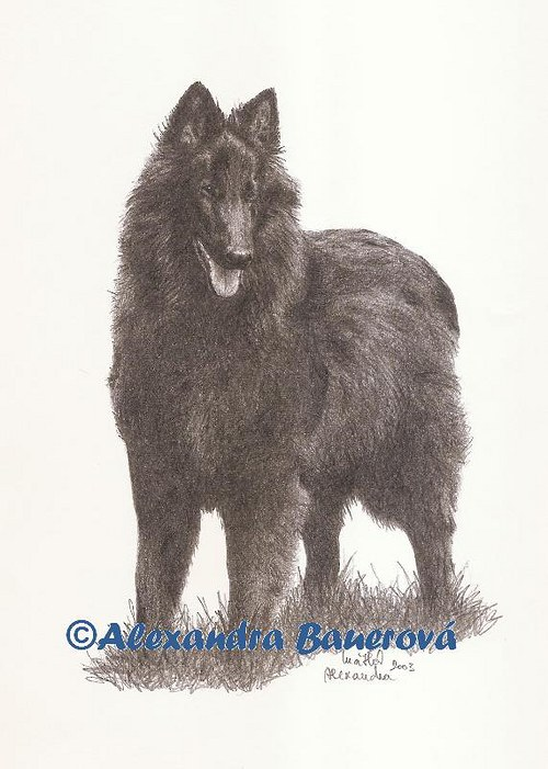 Belgický ovčák Groenendael