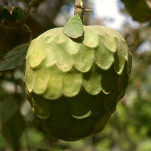 Chirimoya – vonný olej do mýdel