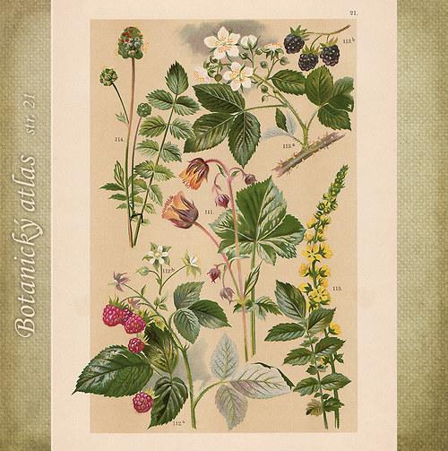Rostliny - tab. 21 (r. 1898)