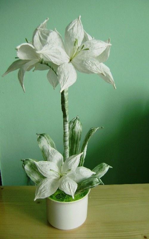 Květina v květníku-Amarilis v bílém....
