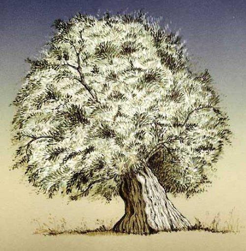 vzpomínka na Rhodos - olivovník I