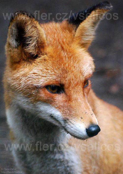 Liška Mášenka