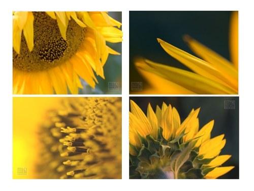 Slunečnice -  sada 4 autorských fotografií