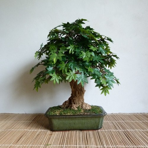 Umělá bonsaj listnatá - JAVOR