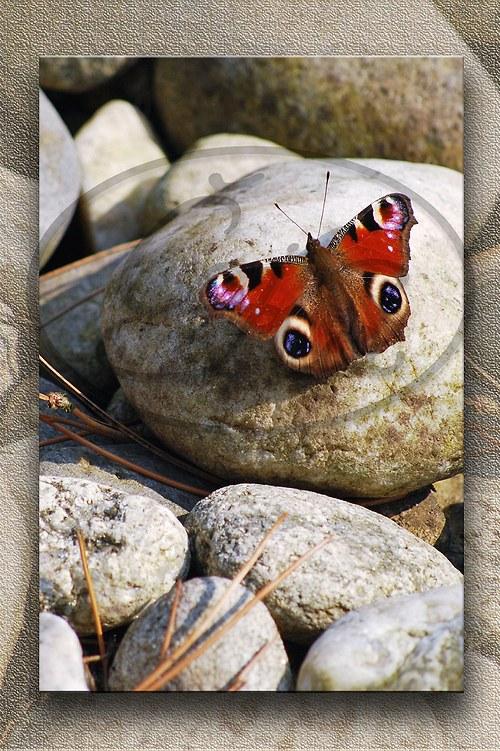 Pohlednice Motýl