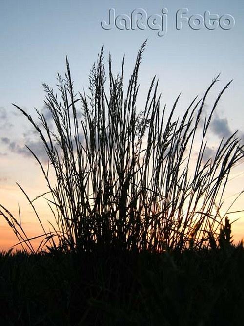 Tráva v západu