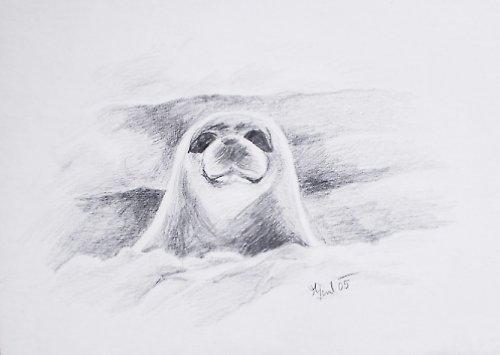 Chraňme tuleně... Kresba.