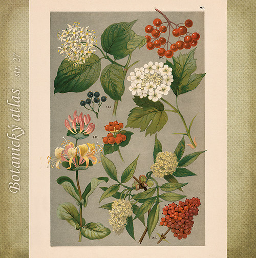 Rostliny - tab. 27 (r. 1898)