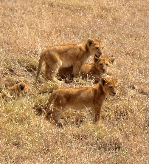 Lví čtyřčátka