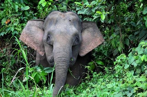 Rarita mezi slony - Pygmy Elephant