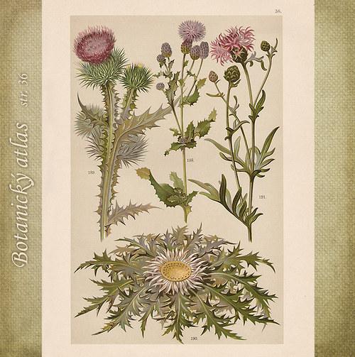 Rostliny - tab. 36 (r. 1898)