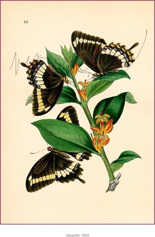 Motýlci II