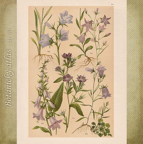 Rostliny - tab. 40 (r. 1898)