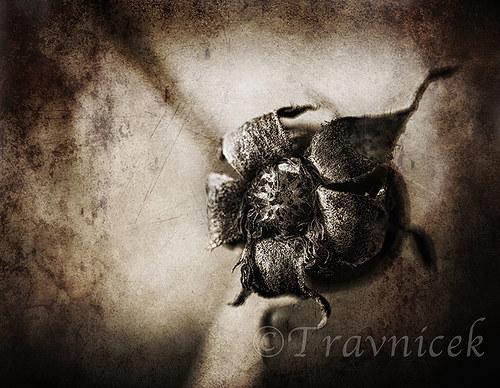 Čajová růže