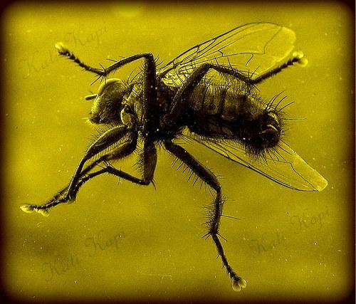 Moucha zalitá ve zlatě