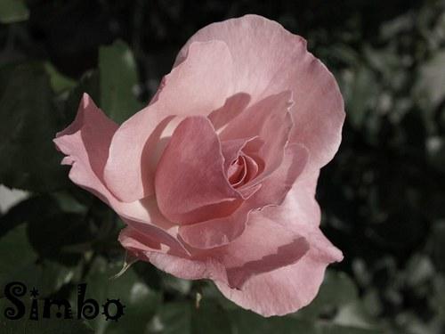 růže SLEVA