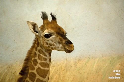 Žirafka - autorská fotografie