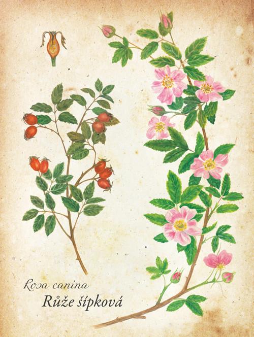 Plakat Šípková růže