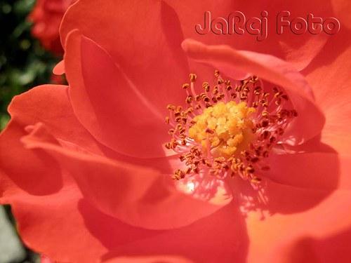 V růži