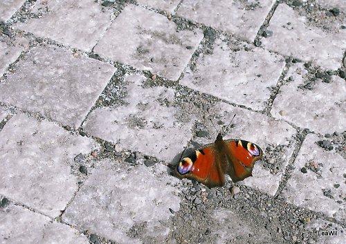 Motýl na dlažbě 1