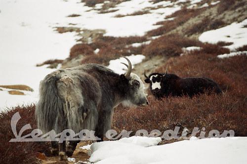 Pastva jaků
