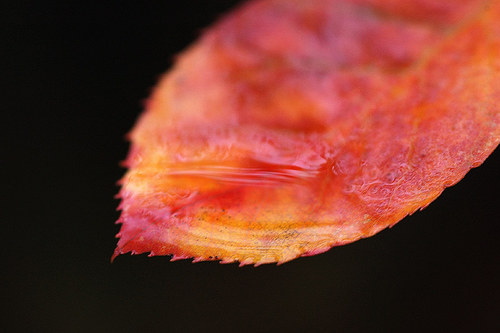 Podzimní muchovník