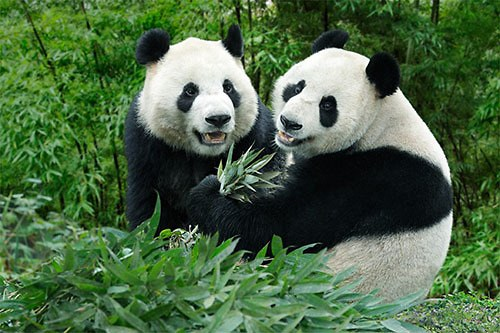 Panda na hlídání