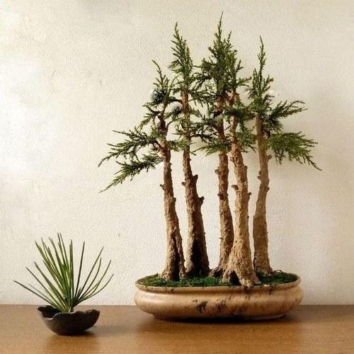Five woods - nepravá bonsaj