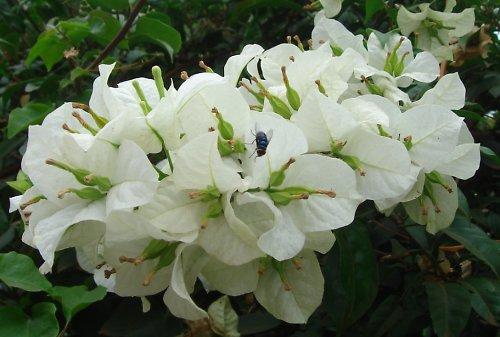 Bílé květenství bugénviley zdobené muškou
