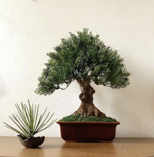 """Bonsaj \""""Borovice\"""" - nepravý ale krásný strom"""