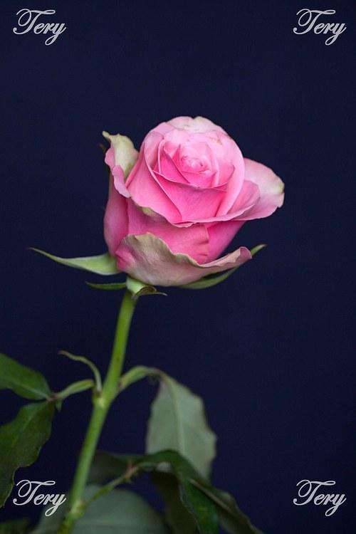 Růžová růže 2