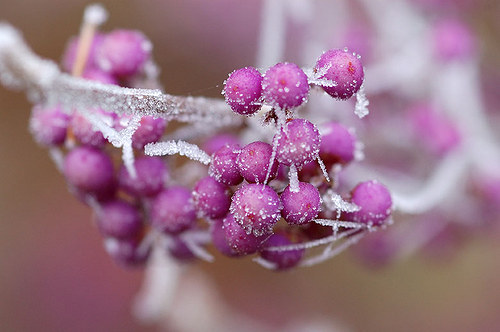 Krásnoplodka ojíněná