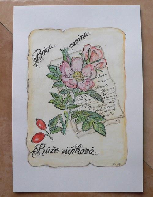 Růže bez rámu