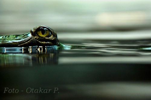 Bdělé oko gaviála