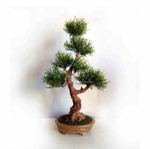 Umělá bonsaj Cypřiš, dekorace do interieru
