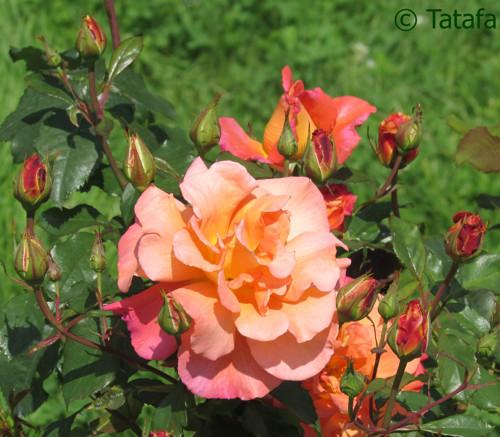 O šípkových růžích růžových