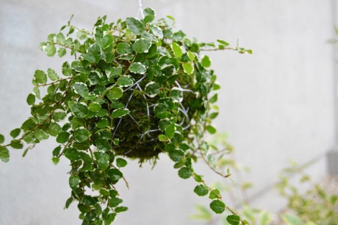 Kokedama Ficus